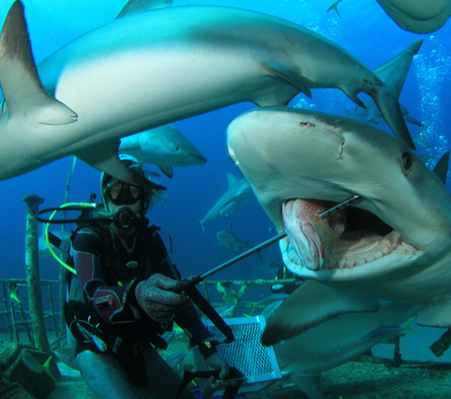 Shark Feeding: Swim with Sharks & Feed Them 11